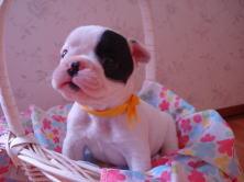 フレンチブルドッグ・ブリーダー・フレンチブルドック・子犬